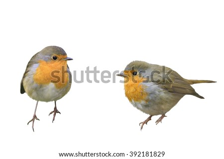 two birds Robins in different poses isolated on a white background - stock photo