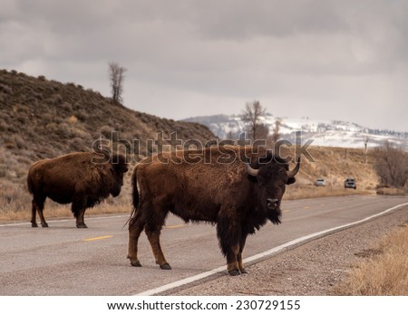 Two bison block traffic going both directions on the road in Teton National Park - stock photo