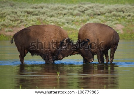 Two Bison bulls fighting in the Yellowstone River, in Yellowstone Park's Hayden Valley - stock photo