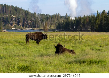 Two Bison by the Yellowstone River with geysers in the background - stock photo