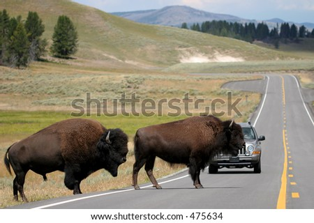 two bison slowly make their way across the road. rush hour in yellowstone national park, wyoming. - stock photo