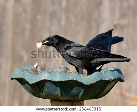 Two black American Crows (Corvus brachyrhynchos) eating bread in a birdbath. - stock photo