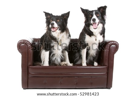 two black and white border collie sheepdogs on a chesterfied couch isolated on a white background