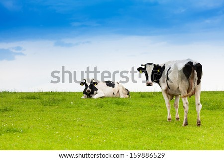 Two black and white cows on clean sky and green grass field - stock photo
