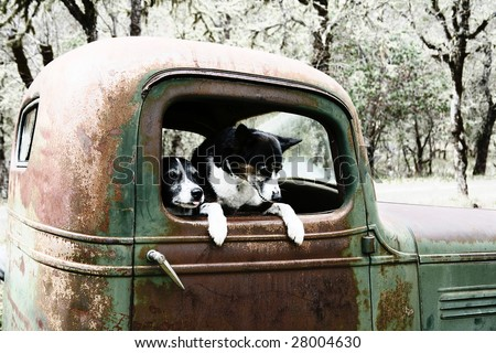 Two Black and White Dogs in an old Truck - stock photo
