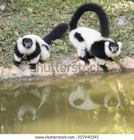 Two Black and white ruffed lemur near the ponds - stock photo