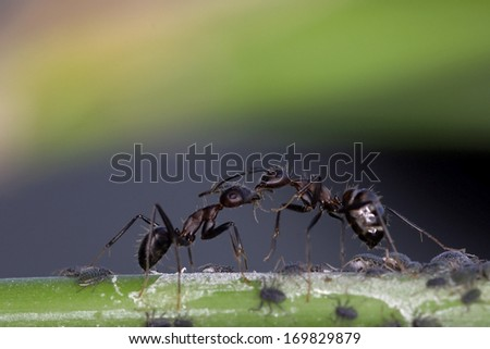 two black ants are communication and sharing the food - stock photo