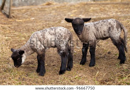 two black baby sheep - stock photo