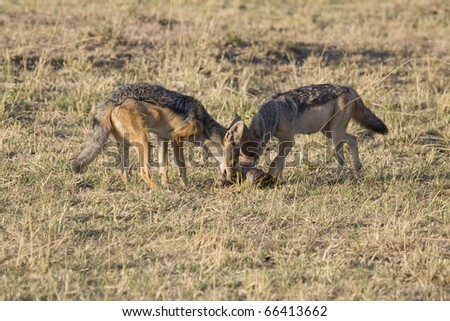 Two black-backed jackals scavenge on the leftovers of a lion's kill.