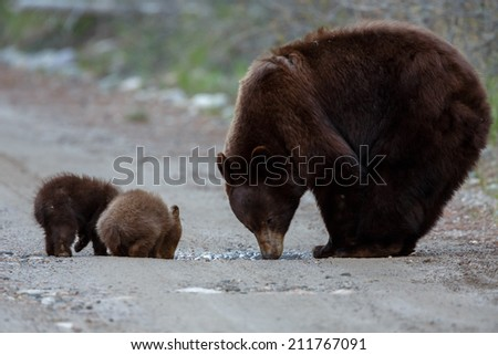 Two black bear cubs and mother drinking - stock photo