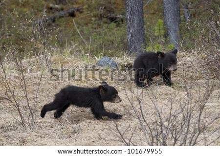Two Black bear cubs (Ursus americanus) playing in a forest, Jasper National Park, Alberta, Canada - stock photo