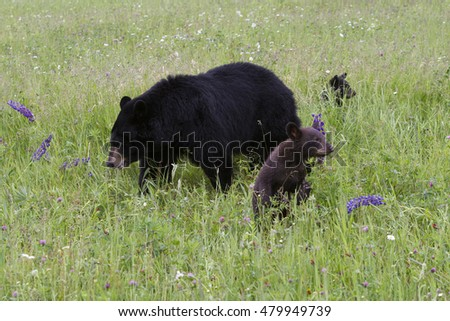 Two Black Bear Cubs with Momma Bear