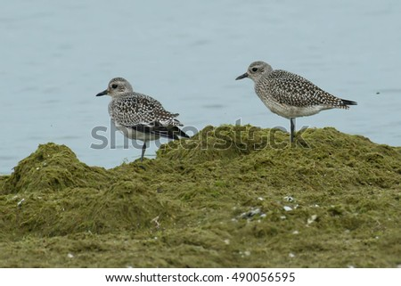 Two Black-bellied Plovers standing in the moss at the edge of the water.