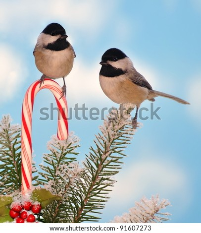 Two Black- capped Chickadees (Poecile atricapillus) at a festive candy cane. - stock photo