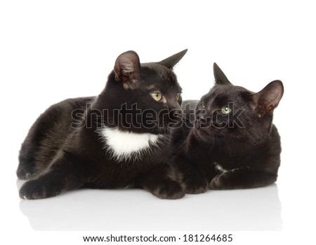 Two black cats looking at each other. isolated on white background - stock photo