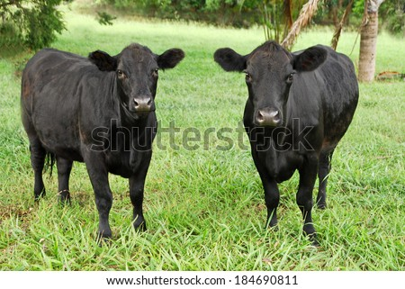 two black cows grazing in Australia,New South Wales - stock photo