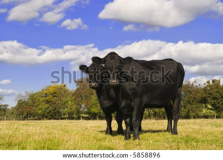 Two black cows in field facing camera - stock photo