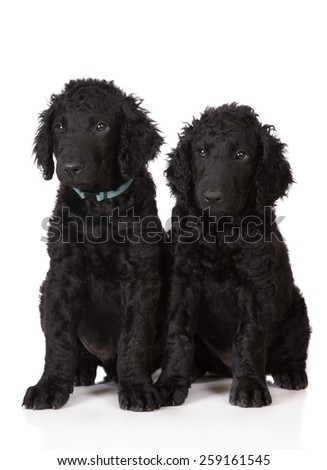 two black curly coated retriever puppies sitting - stock photo