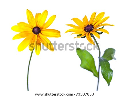 Two Black-Eyed Susan (Rudbeckia Hirta) flowers isolated on white - stock photo