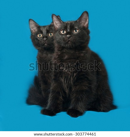 Two black fluffy kitten sits on blue background