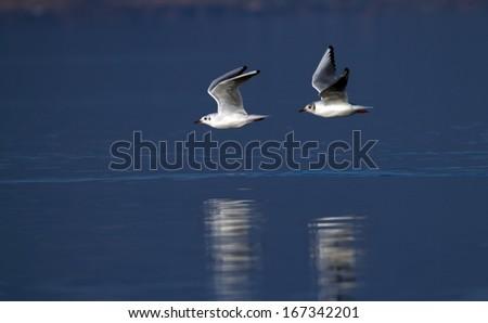 Two black-headed gulls (chroicocephalus ridibundus) flying right upon water in blue background - stock photo