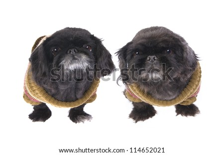 Two Black old Pekingese dogs dressed in their winter sweaters isolated on white - stock photo