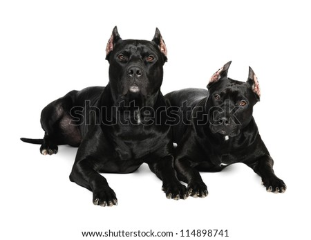 Two black pit bull dog in studio on a white background listening attentively