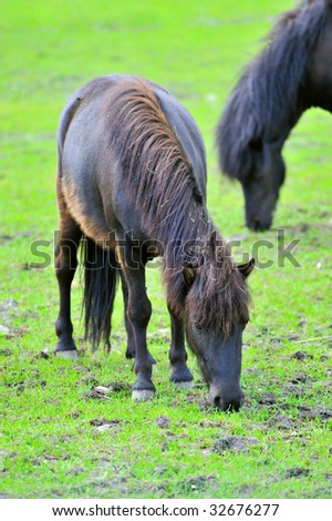 Two black ponies are grazed on a meadow - stock photo