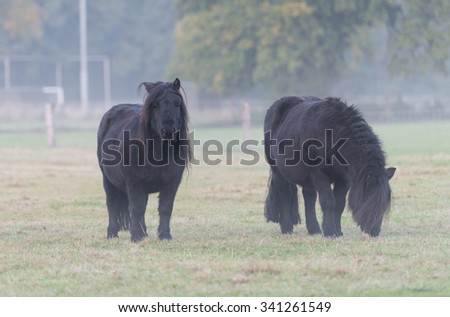 Two black ponies on the pasture in the fog - stock photo