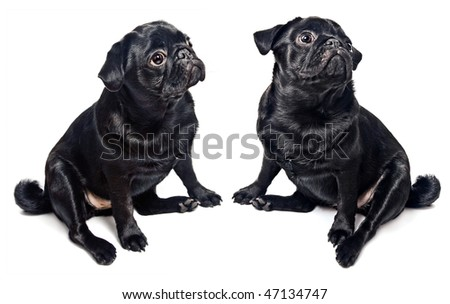 Two black pugs isolated on white - stock photo