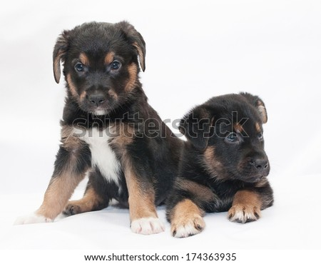 Two black puppy with red spots and white legs sit and look in different directions - stock photo