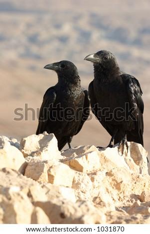 Two black ravens - stock photo