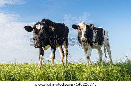 Two black spotted heifers standing on grass and looking curiously. - stock photo