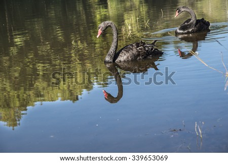 Two black swan floating in a reservoir Pang Ung, Mae Hong Son, Thailand.