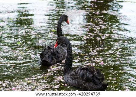 Two black swans on a pond - stock photo