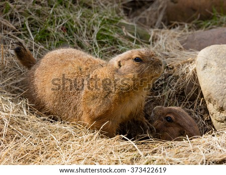 Two Black-tailed Prairie Dogs (Cynomys ludovicianus) near their burrow entrance - stock photo