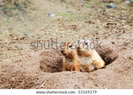 Two black-tailed prairie dogs - Cynomys ludovicianus - sticking out from a burrow. - stock photo