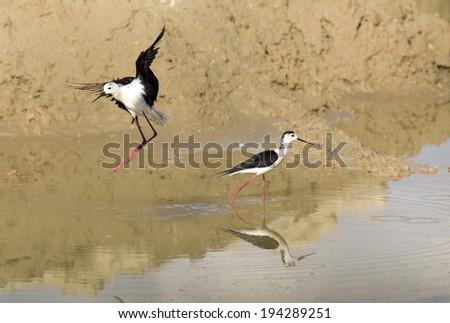 Two Black Winged Stilts in shallow water - stock photo
