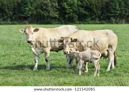 Two Blonde d'Aquitaine cows and a newborn calf in a fresh green meadow - stock photo