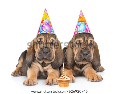Two bloodhound puppies in birthday hats with cake lying together. Isolated on white background