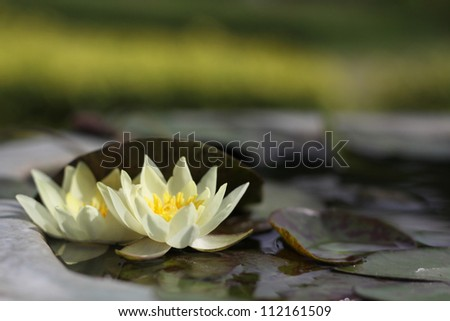 two blooming lotus in the still ponds
