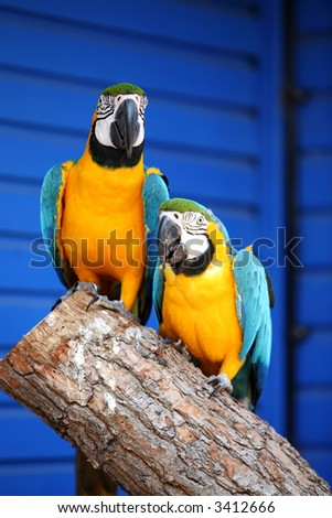 Two blue and gold macaws sitting on a branch against a blue background