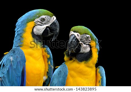 Two Blue and Gold Macaws teasing each other with black background - stock photo