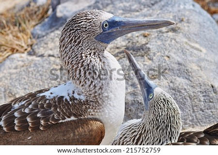 two Blue-footed Boobies - stock photo
