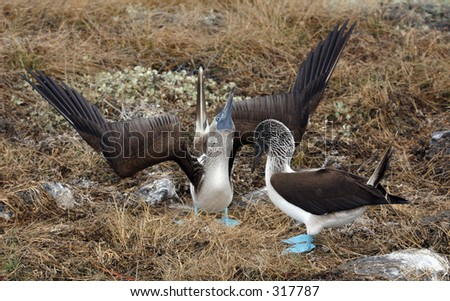 two blue footed boobies doing part of the mating ritual