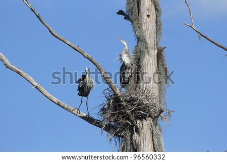 Two blue herons on nest with ruffled feathers catching the wind. - stock photo