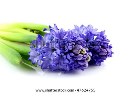 Two blue hyacinth isolatd on white background - stock photo