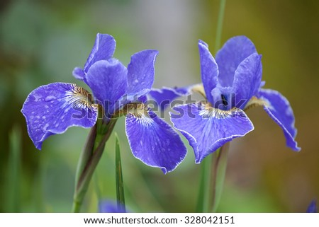 two blue iris flowers closeup with water drops on the petals - stock photo