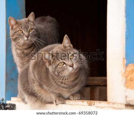 Two blue tabby cats on a half door of a blue barn, watching keenly to the right of the viewer - stock photo