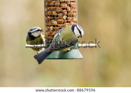Two blue tits on a peanut feeder against a neutral brown background. - stock photo